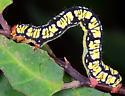 Melanchroia chephise - White-tipped Black - Hodges#6616 - Melanchroia chephise