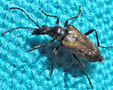 Small beetle - Gnathacmaeops pratensis