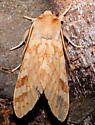 Spotted Tussock Moth ?? - Lophocampa maculata