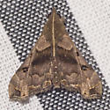 Faint-spotted Palthis Moth - Hodges  #8398 - Palthis asopialis - male