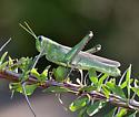 Grasshopper - Schistocerca shoshone - female