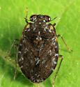 Velvety Shore Bug - Ochterus americanus