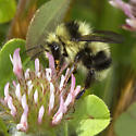 Cuckoo Bumble Bee? - Bombus melanopygus - male