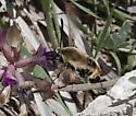 Snowberry Clearwing (Hemaris diffinis) - Hemaris diffinis
