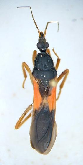 Sirthenea carinata