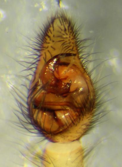 Piratula canadensis--voucher image - Piratula canadensis - male