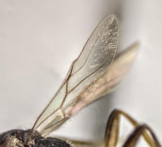 Braconidae - female