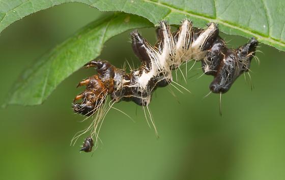 Harris's Three Spot Caterpillar - Harrisimemna trisignata