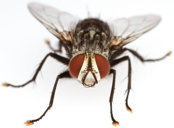 Tachinidae - Chetogena tachinomoides - male