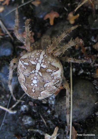 Araneus sp.? - Araneus diadematus