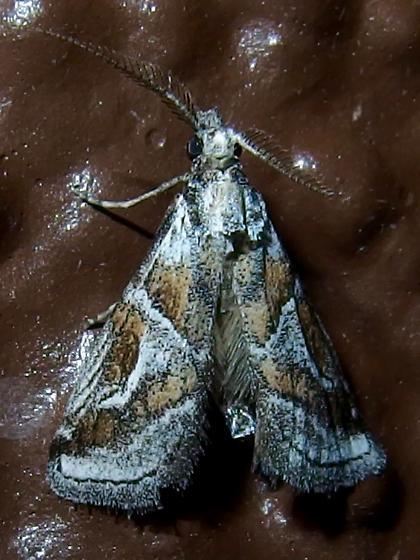 Decaturia pectinalis? - Decaturia pectinalis - male