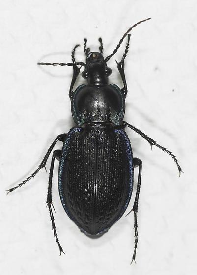 Blue-rimmed Carabus? - Carabus serratus - female
