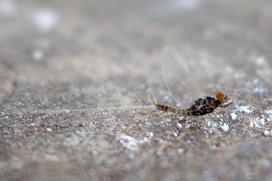 Tiny Mayfly - Acentrella turbida - male