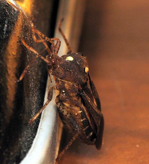 Coreid with parasites - Anasa armigera