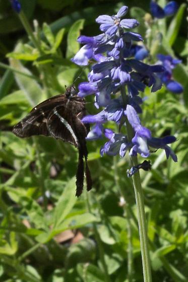 Unknown Butterfly at LBJ Wildflower Center - Chioides albofasciatus