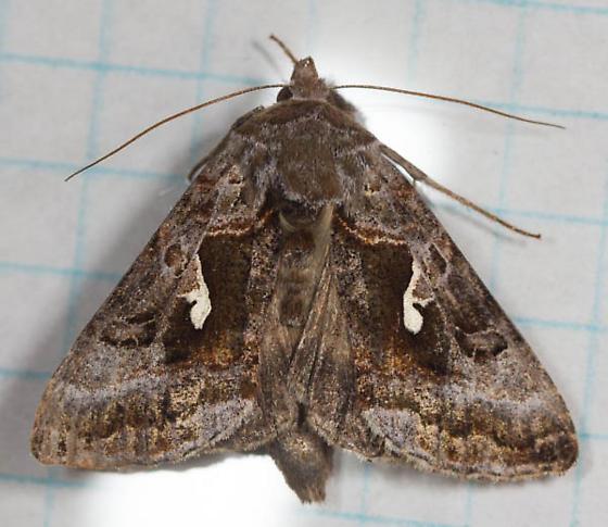 Moth (Noctuid) - Autographa pseudogamma