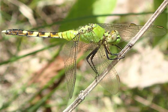 Dragonfly - Erythemis simplicicollis - male