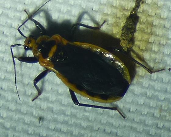 unknown insect - Rhiginia cinctiventris