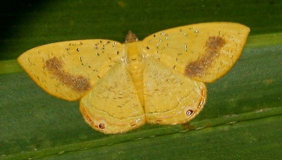 Golden-winged Palyas Moth - Phrygionis auriferaria