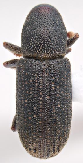 Hylastes nigrinus