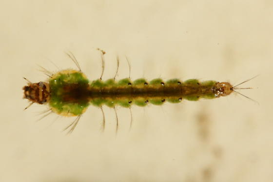 Anopheles larva - Anopheles