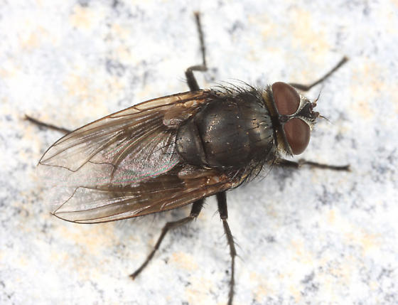 blow fly? - Pollenia rudis