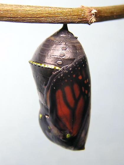 Monarch emergence - Danaus plexippus