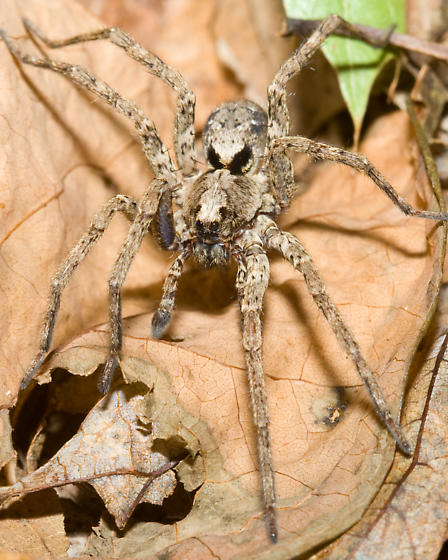 Wolf Spider in South Central Indiana - Gladicosa pulchra - male
