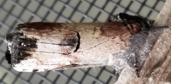 Moth - Schizura badia
