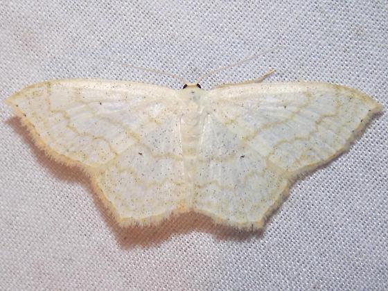 7159 Large Lace-border - Scopula limboundata
