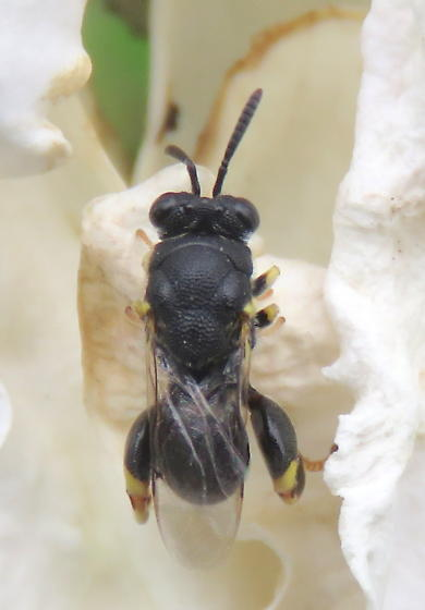 Chalcidid wasp? - Brachymeria