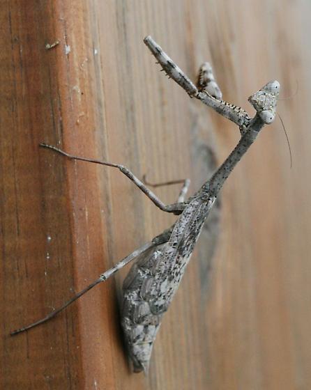Female Carolina Mantis?  - Stagmomantis carolina - female