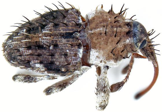 Plocamus echidna