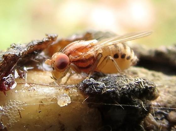 which fly? - Poecilominettia