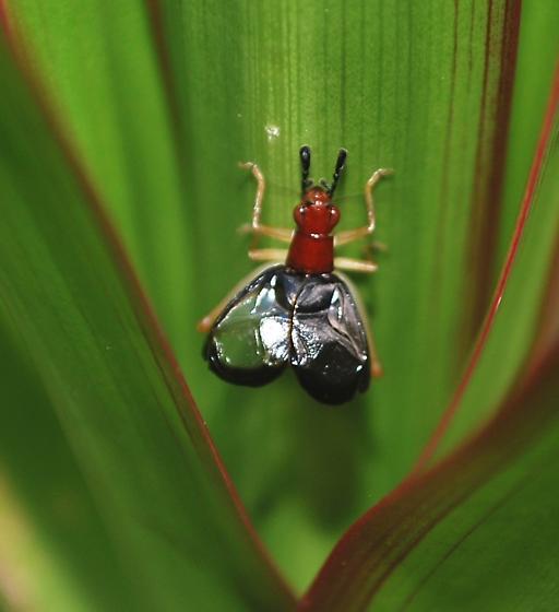 Singing male Phylopalpus pulchellus - Phyllopalpus pulchellus - male