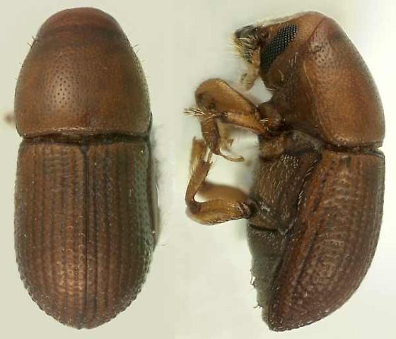 Cnemonyx ficus (Schwarz) - Cnemonyx ficus