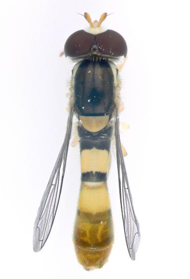 Syrphidae, dorsal - Sphaerophoria contigua - male
