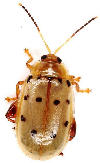 Alticini? - Walterianella durangoensis