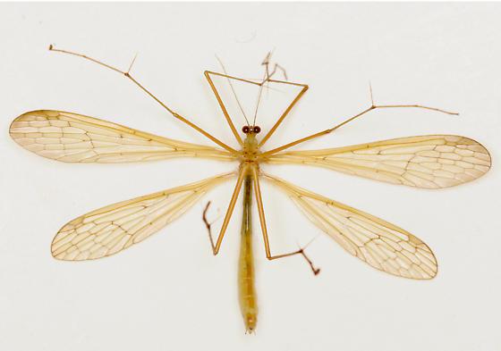 BG1462 C9393 - Bittacus stigmaterus - female