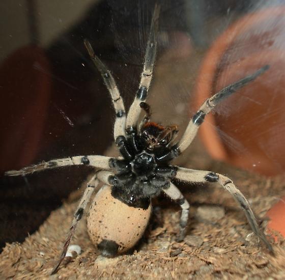 Hogna - Hogna coloradensis - female