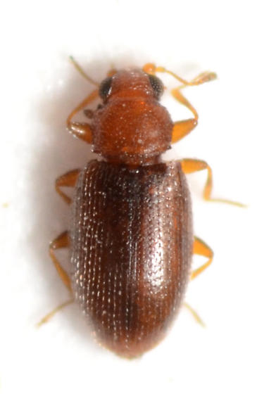 Beetle from collection of drying lopped Helianthus annuus flowers - Corticaria