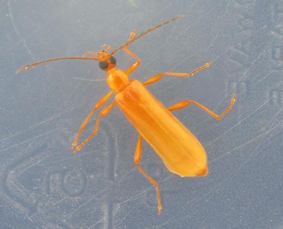 Was it love? - Dendroides concolor - female