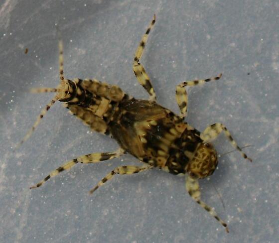 Serratella micheneri - female