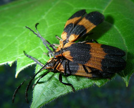 Beetle ID? 1 of 2 - Calopteron - male - female
