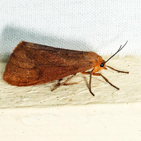 Tawny Virbia - Virbia opella