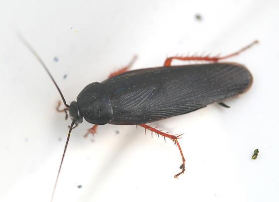 Ischnoptera deropeltiformis