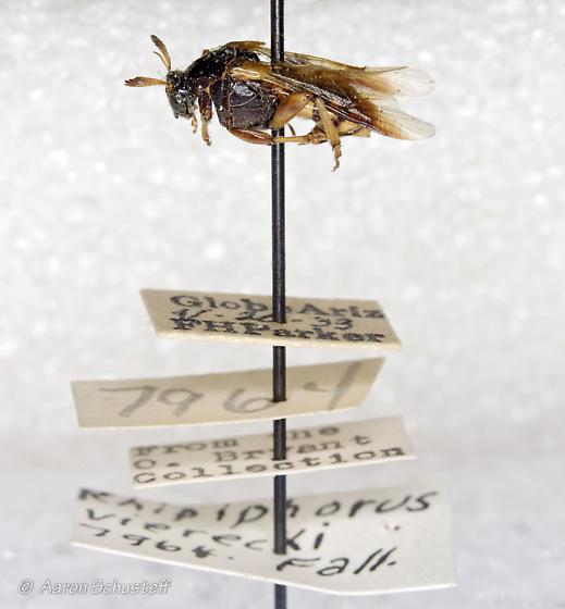 A CAS specimen of Rhipiphorus vierecki - Ripiphorus - female