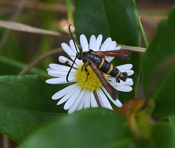 Small Fringe-winged Moth? - Osminia ruficornis