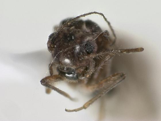 Psocodea - Peripsocus subfasciatus