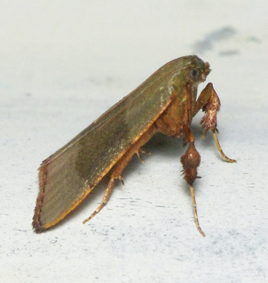 Basacallis tarachodes